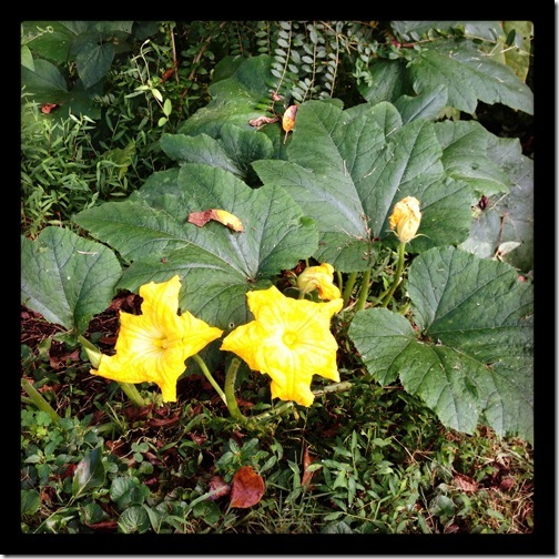 pumpkinplant
